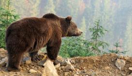 Medvemenhely létesülhet Brassóban
