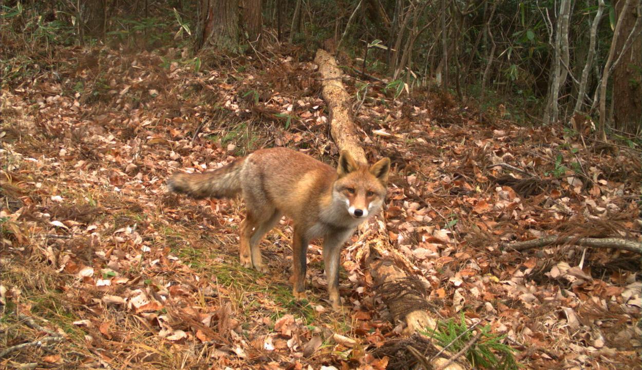 Ezúttal nem a szarka akart sokat, hanem a róka. Több mint 100 pár cipőt lopott el