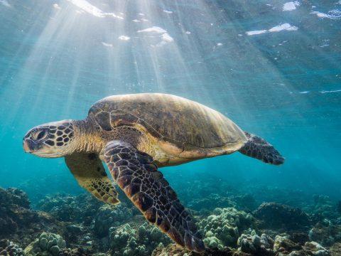 A kihalás szélére sodródtak a tengeri teknősök
