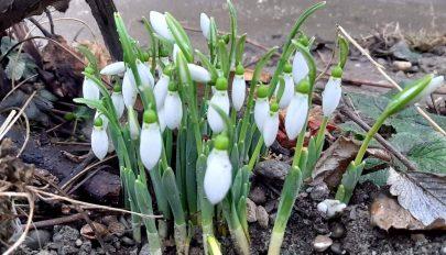 Februári hóvirág