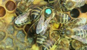 Szín szerint festett anyák, így különbözteti meg Csákány Attila a többi méhtől. Minden évben más szín dominál, 2020-ban a kék