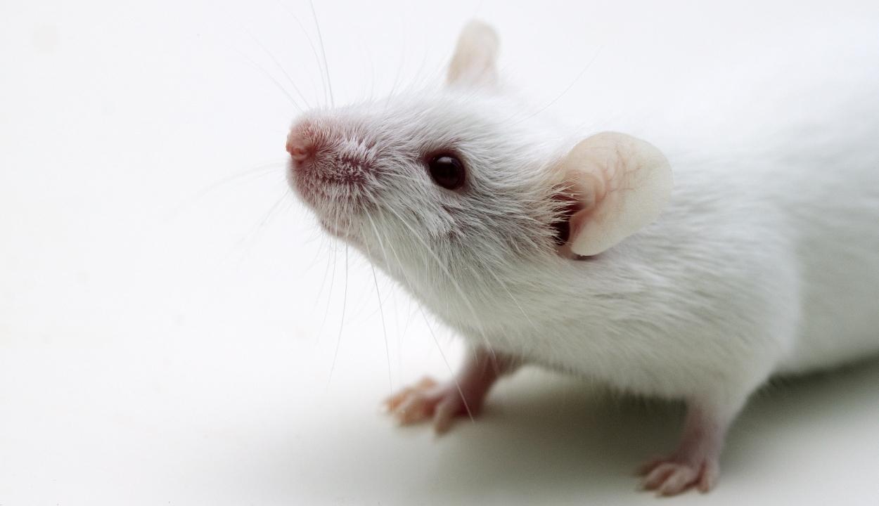 Évente mintegy tízmillió állatot használnak fel kutatási célra az EU-ban