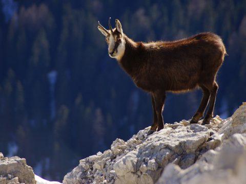 A védett fajok közé sorolták a pacsirtát és a zergét Romániában