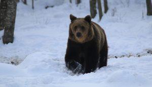 Egy jól kifejlett medve látványa már nem hoz lázba senkit, negatív hőssé váltak