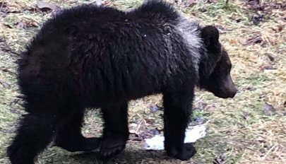 Medve sétált végig Dálnokon