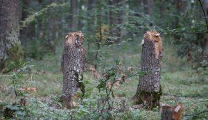A kétlábú hódok munkája