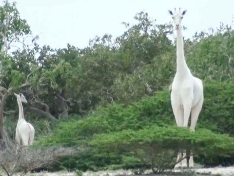 Vadorzók végeztek Kenya egyetlen hófehér zsiráfnőstényével