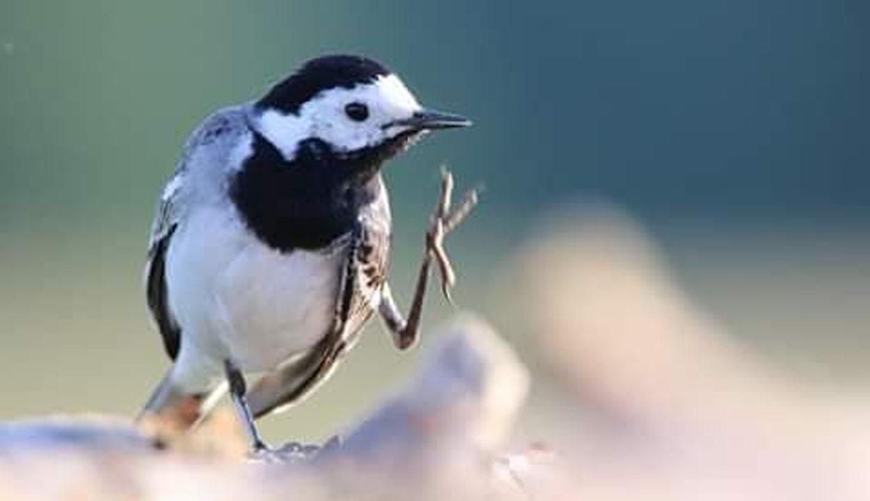 A trükkös madarak