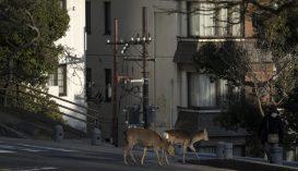 Szarvasok, mosómedvék és más vadak kószálnak a kiürült városok utcáin