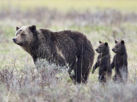 Egy család mentett meg három árván maradt medvebocsot
