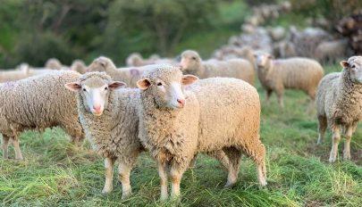 Bárányvágásokat jelentettek