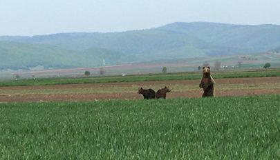 Medvék a csernátoni határban