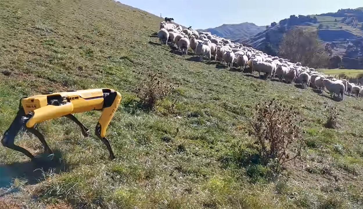 Robotkutya őrzi a juhokat Új-Zélandon