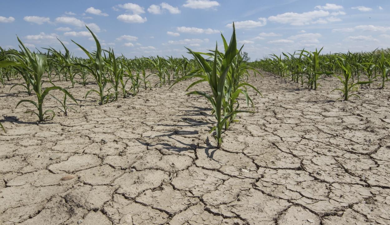 Mezőgazdasági miniszter: közel 35 ezer gazdának okozott kárt az aszály