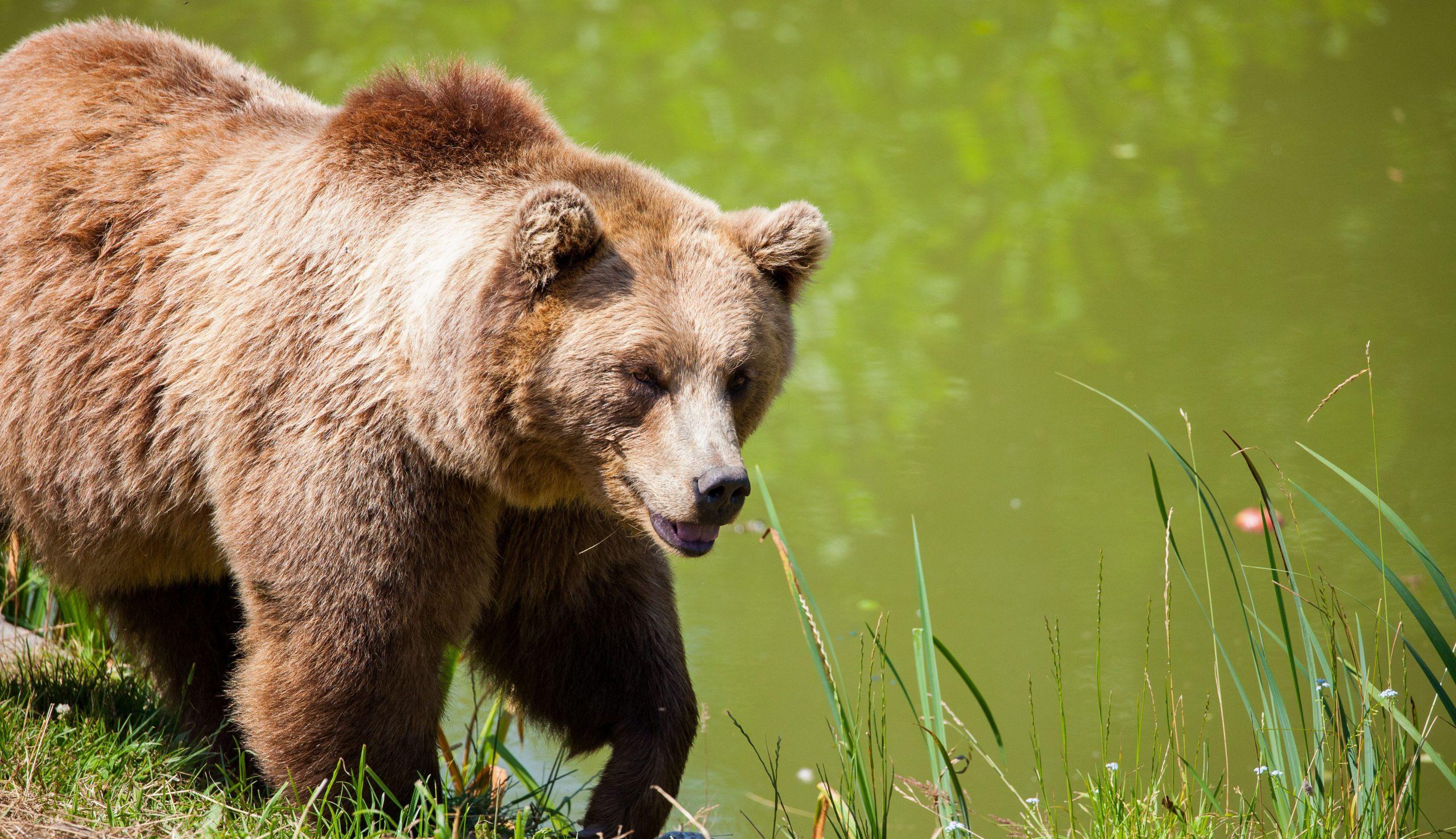 Szelíd állat: medve