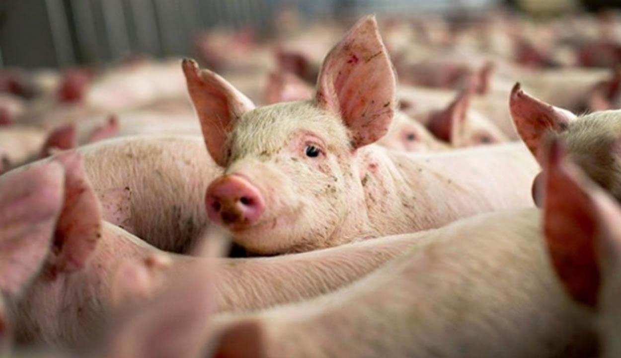 47,4 millió eurót kap Románia sertés- és szárnyastenyésztésre