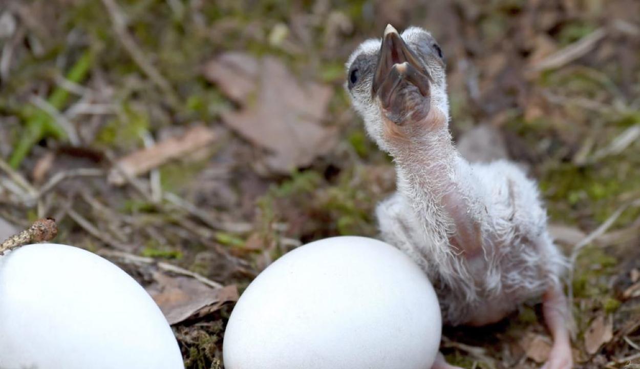 Páva és pulyka nevelte az elárvult gólyafiókát