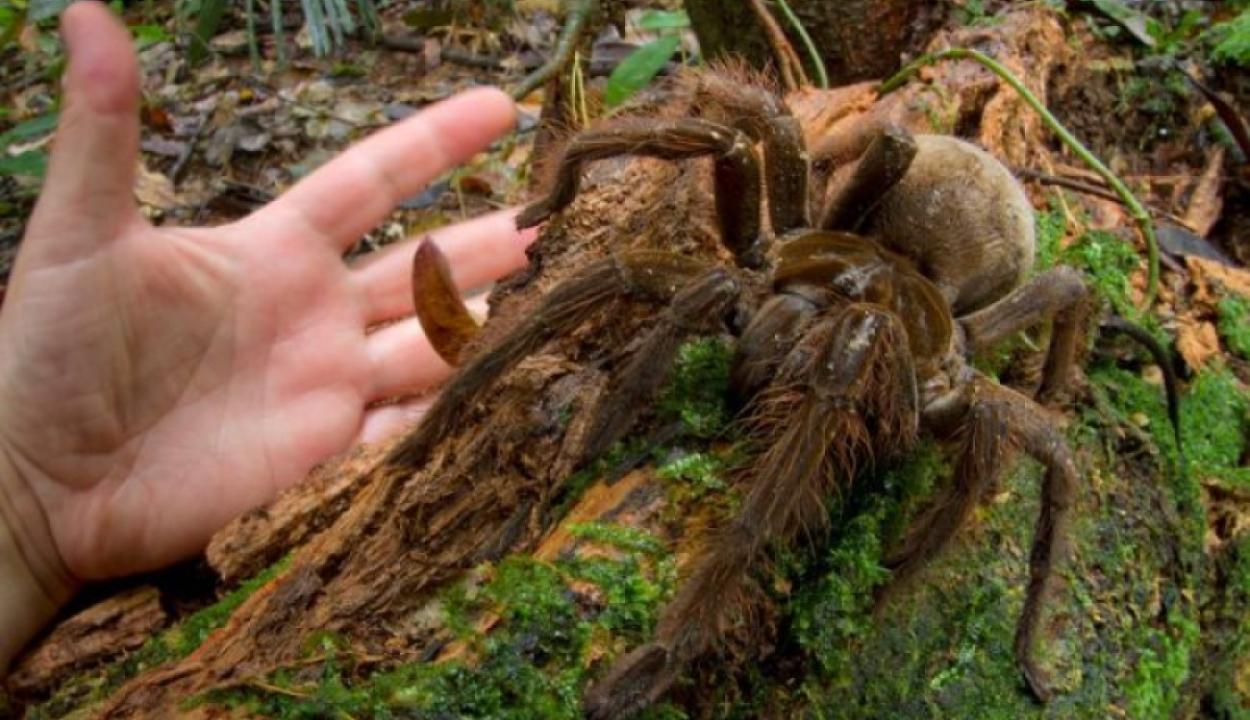 Kölyökkutya-méretű pók hozta a frászt a tudósra