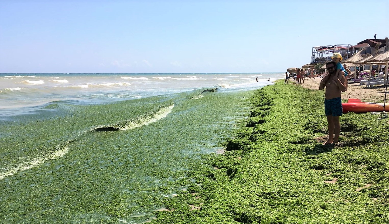 Több tonna alga lepte el a román tengerpartot