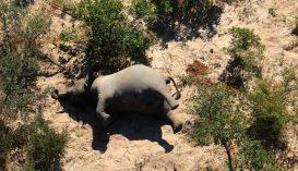 Egy rejtélyes kór miatt több mint 350 elefánt múlt ki Botswanában