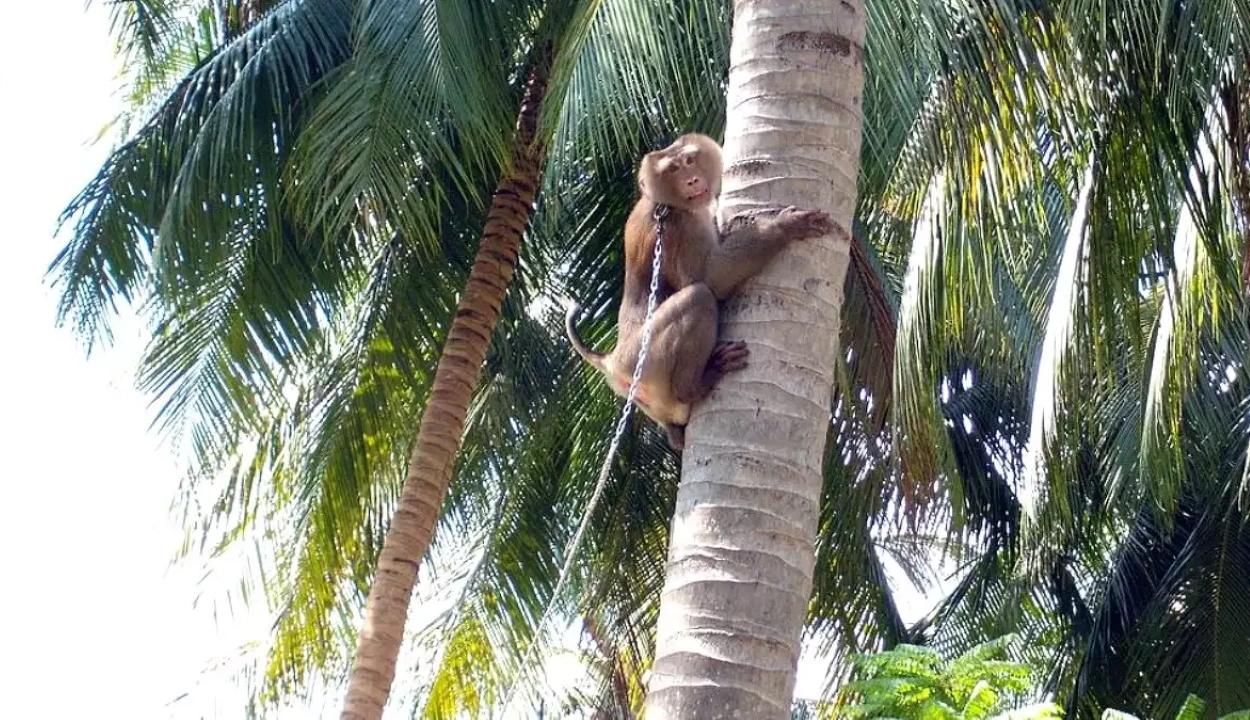 Láncra vert majmokkal szedetik a kókuszdiót Thaiföldön