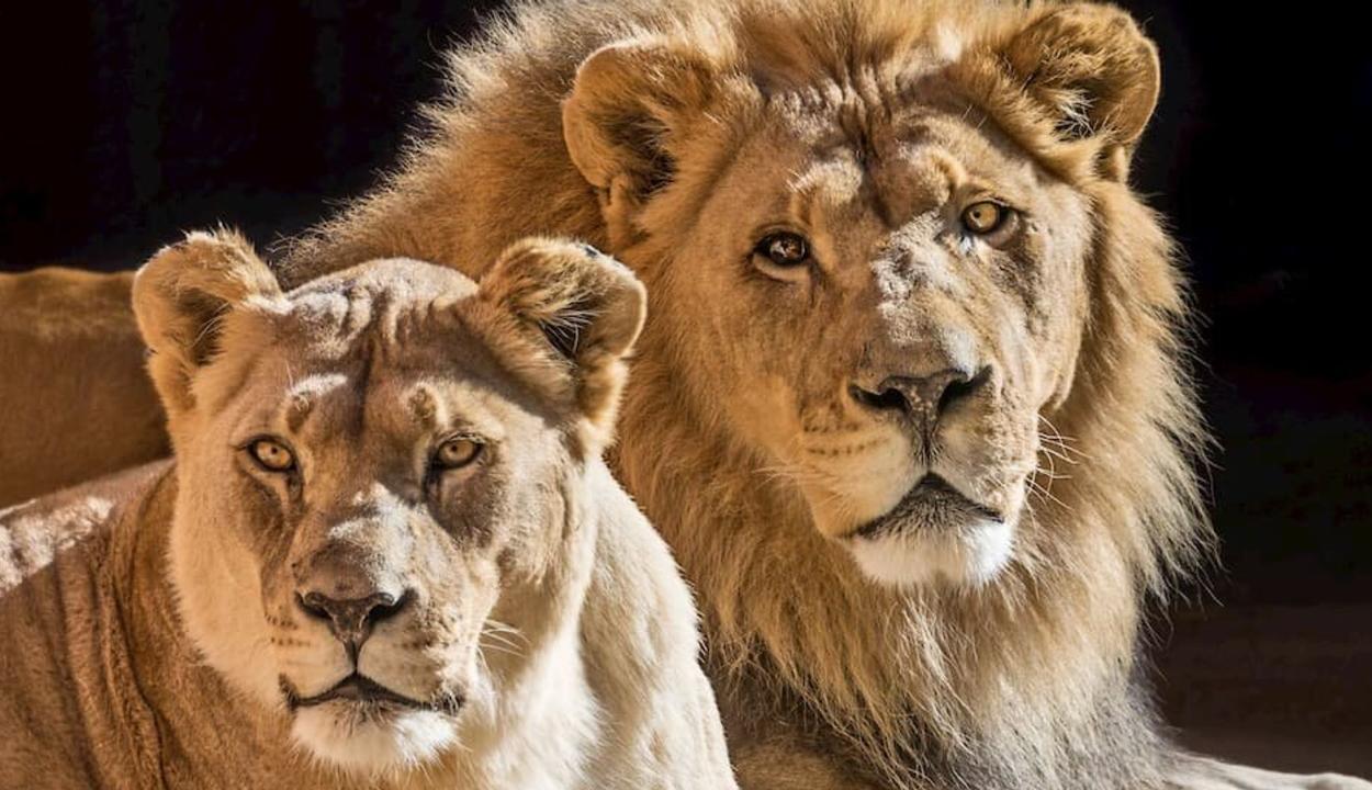 Együtt altatták el az idős és elválaszthatatlan oroszlánpárt