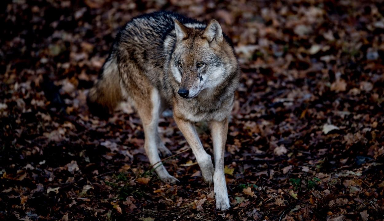 Ha emberek között nő fel egy farkas, akkor sem lesz teljesen szelíd