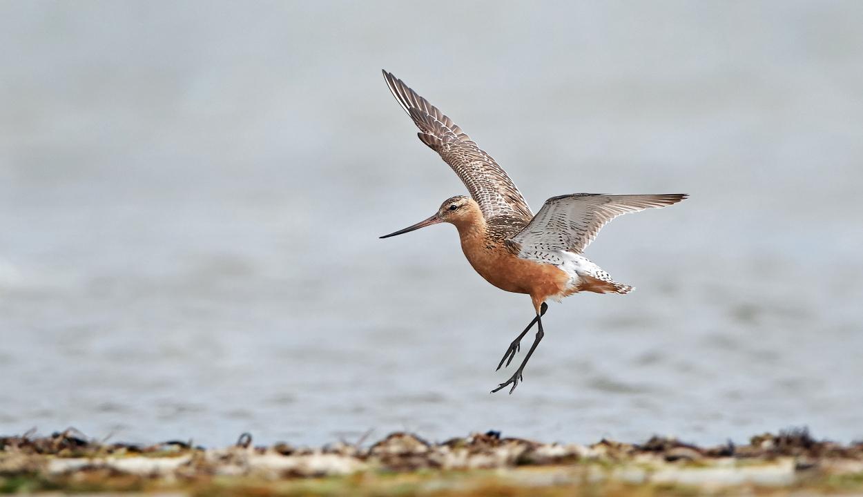 Ez a kis madár megdöntötte a non-stop repülés világrekordját