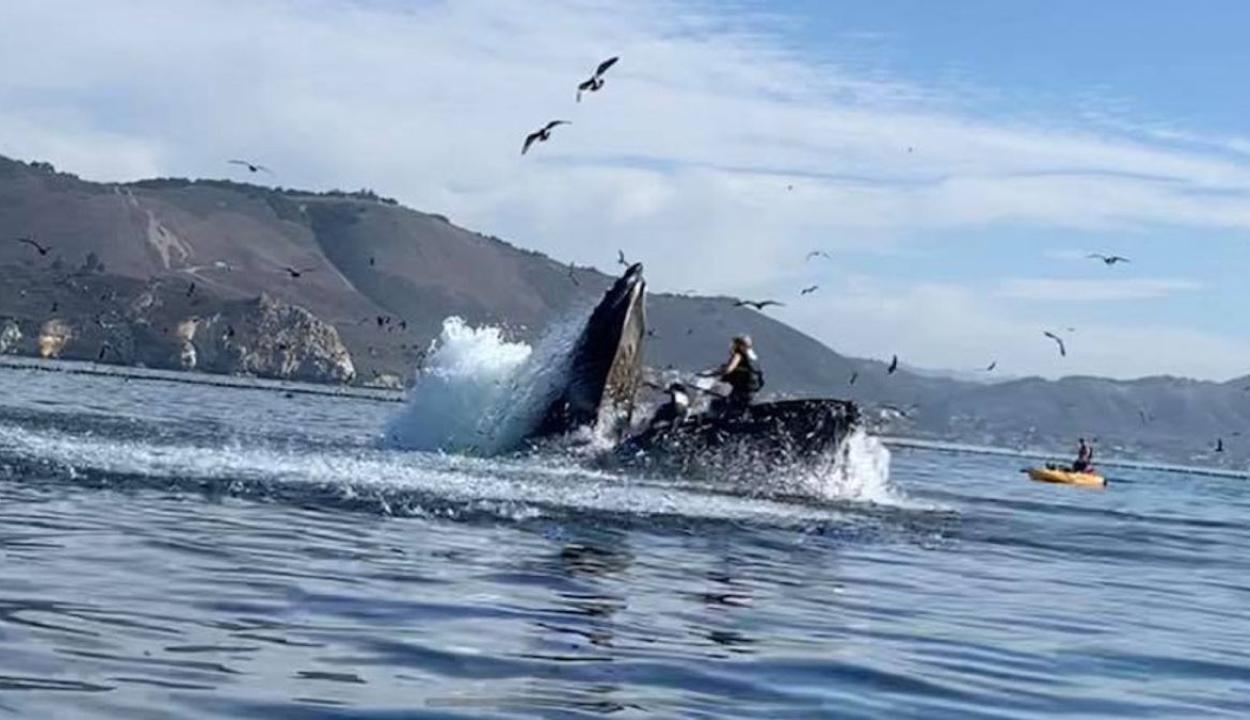 Kis híján lenyelt két kajakost egy bálna