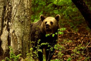 A medve megijed, elszalad, majd a kölcsön kenyér visszajár