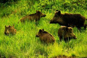Vadföldön vaddisznó, őz, farkas, nyúl, szarvas, róka, sakál, hiúz, medve, borz, vadmacska, nyest – mind fellelhető