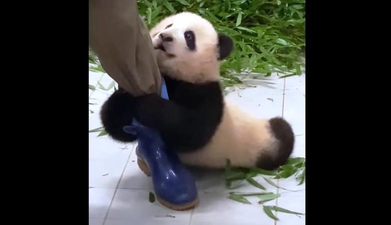 A gondozójába kapaszkodó pandabocs mindenki szívét meglágyítja