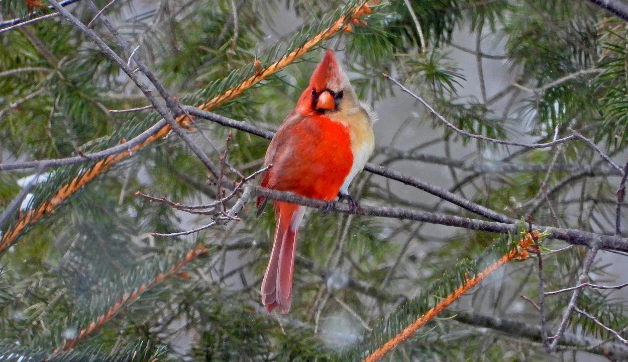 Egyik oldalán hím, a másikon nőstény madarat kaptak lencsevégre Pennsylvaniában