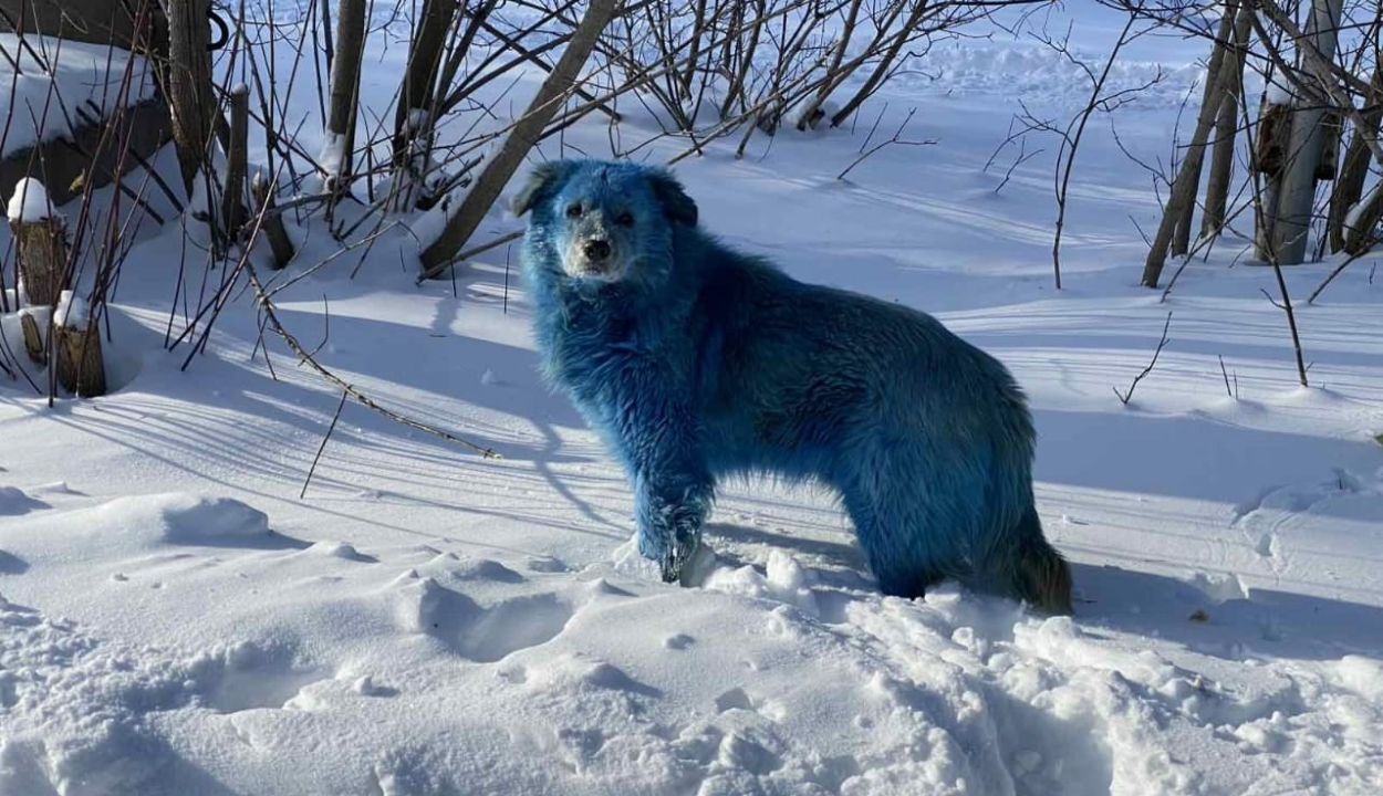 Kék színű kutyák jelentek meg egy orosz városban