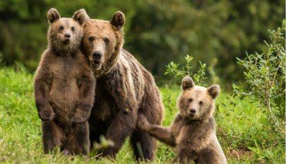 A kormány ismét megpróbálkozik a medvék megszámlálásával