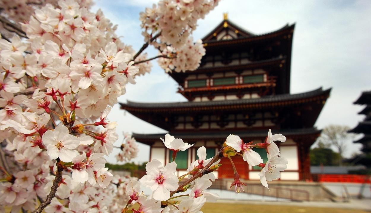 Cseresznyefa-virágzás Japában: 1200 éves rekord dőlt meg idén