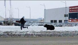 Megállt a forgalom egy orosz városban, mert mindenki egy férfit üldöző medvét figyelt