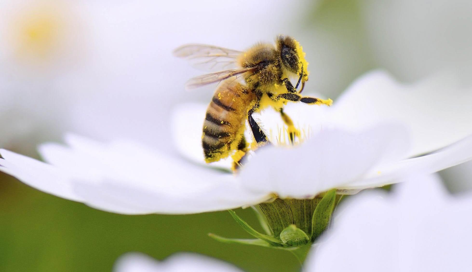 Beporzó rovarok a gyümölcsösökben