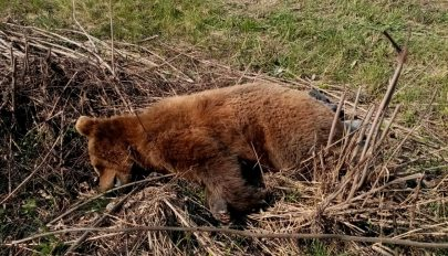 Medvét gázoltak el Mikóújfalu közelében