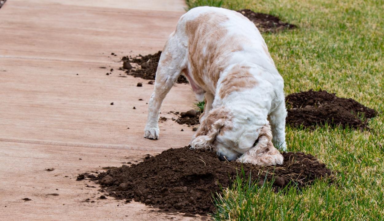 Miért ássa fel a kutya a tavaszi kertet?