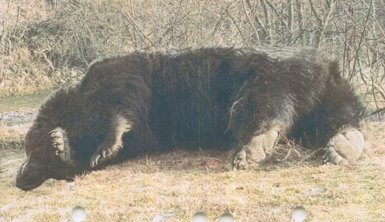Az ügyészség is vizsgálja az Ozsdola közelében kilőtt medve ügyét