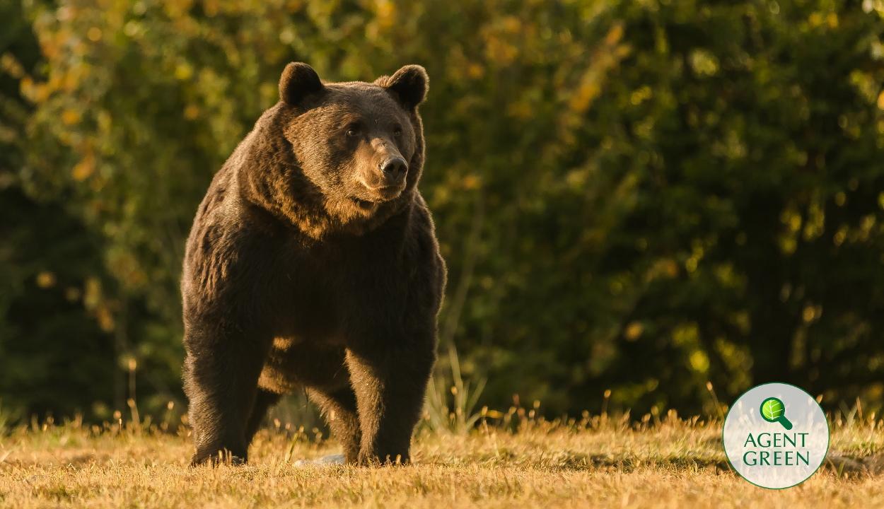 Egy osztrák herceg lőtte ki Románia legnagyobb medvéjét Ozsdolán