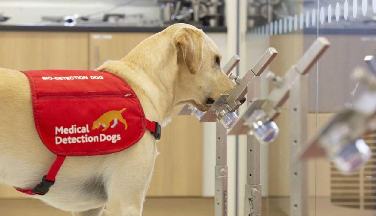 Használt zoknikkal kiképzett kutyákkal szagoltatnák ki a koronavírust Nagy-Britanniában