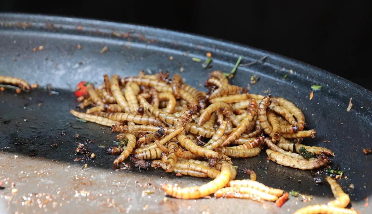 Ennivalóként forgalmazható a lisztkukac az Európai Unióban