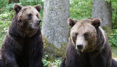 Juhnyájra támadtak a medvék Maros megyében