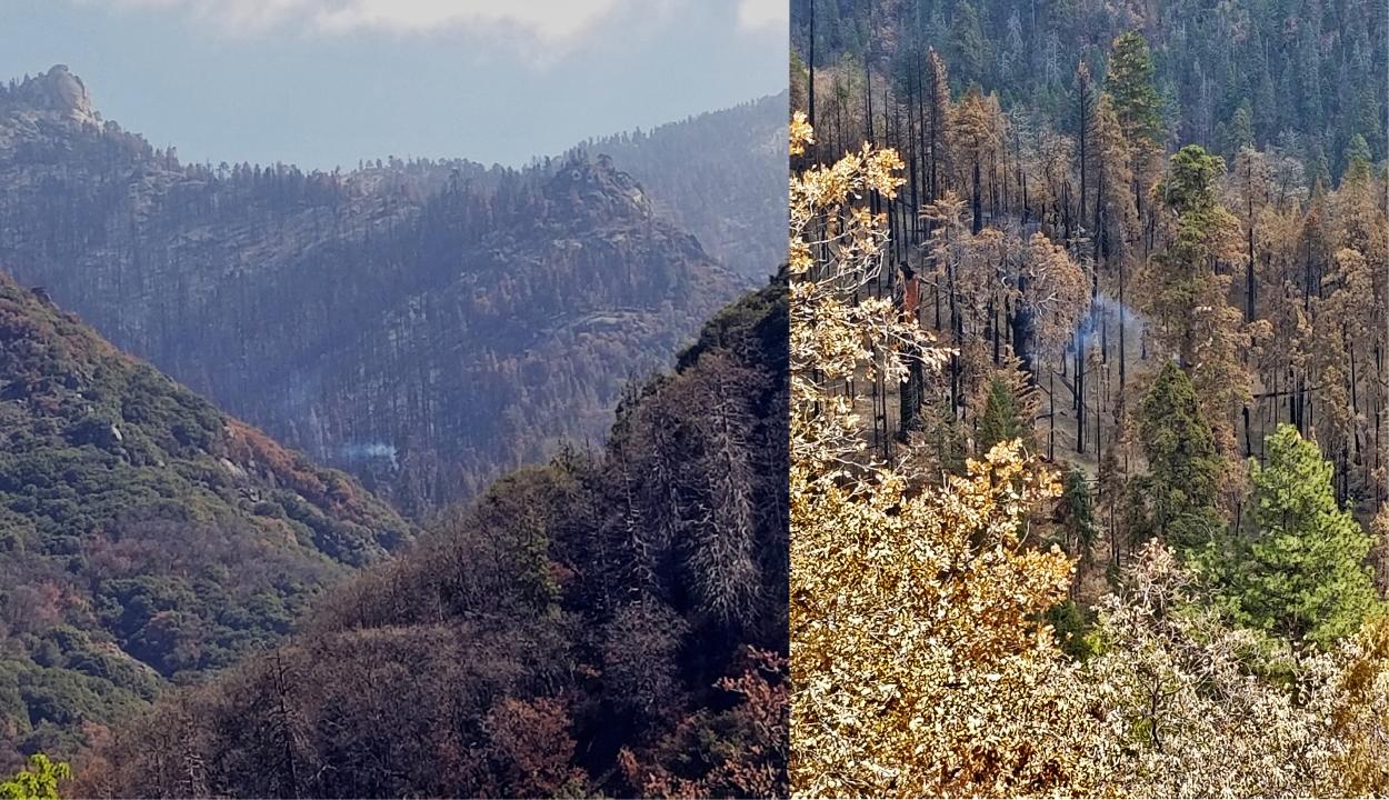 Még mindig parázslik egy óriás mamutfenyő a 2020-as kaliforniai tűzvész után