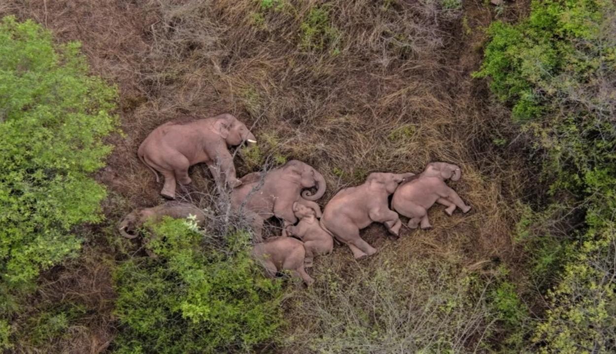 Megpihent és elszundított a kínai elefántcsorda