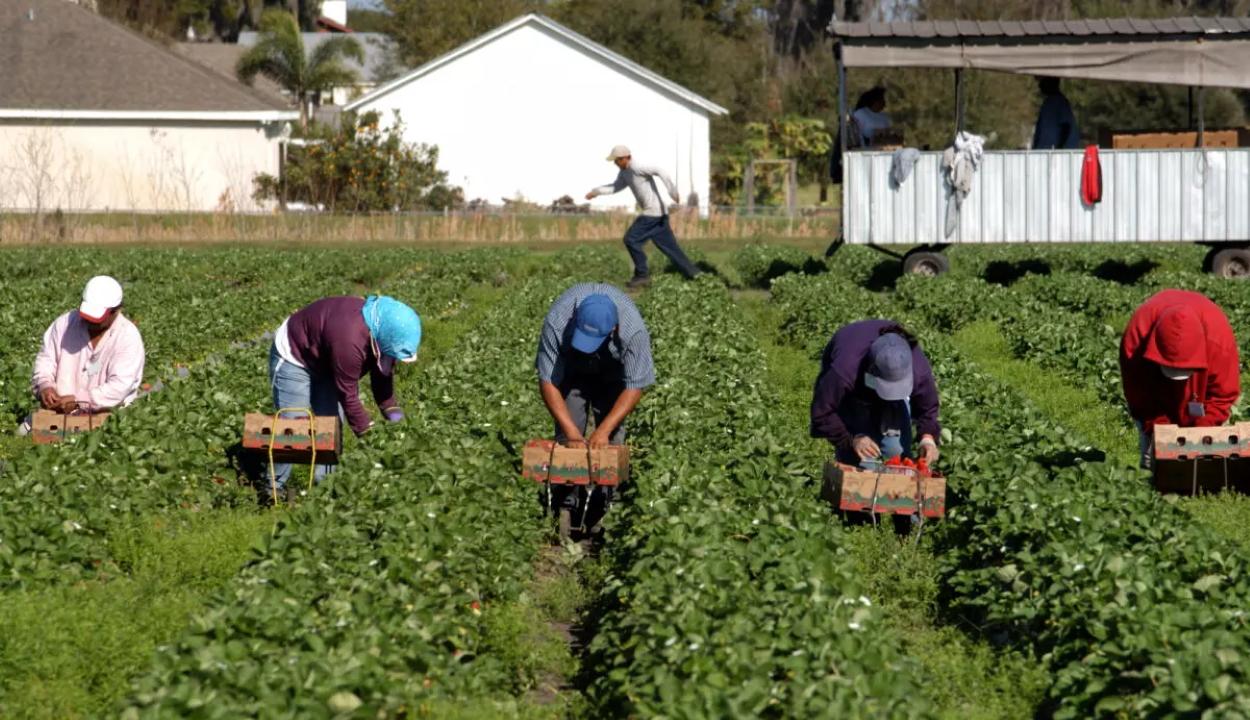 Embertelen körülmények között dolgoztattak romániai vendégmunkásokat egy hollandiai farmon