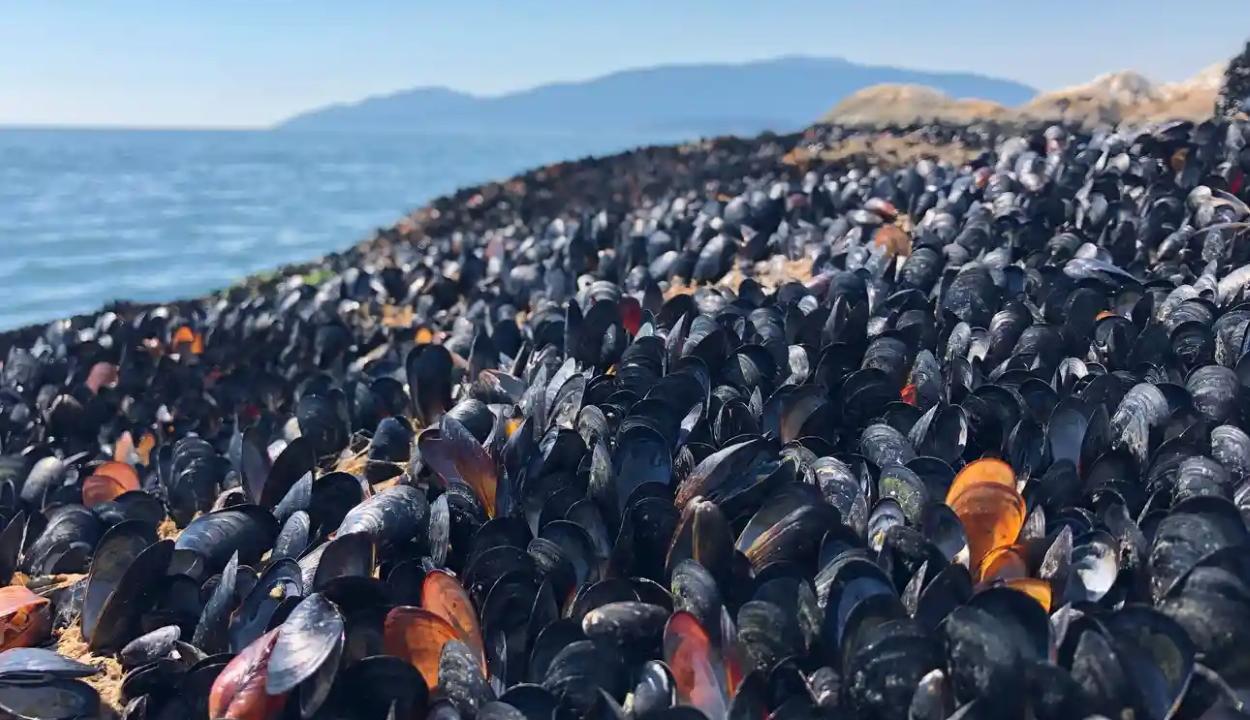 Valószínűleg megfőzte a hőhullám a kagylókat Kanada partjainál