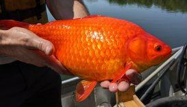 Hatalmasra nőtt aranyhalak pusztítják a minnesotai tavak élővilágát